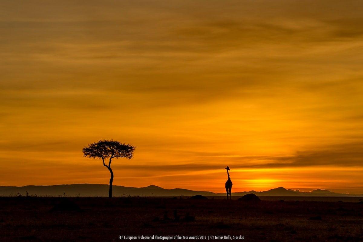 Žirafa Tomáš Hulík Masai mara_Keňa